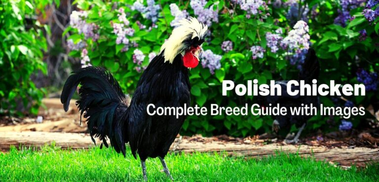 Polish Chicken (Complete Breed Guide with Images)