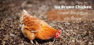 Isa Brown Chicken Breed Guide-min