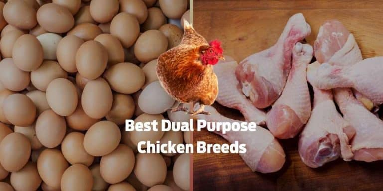 Best Dual Purpose Chicken Breeds